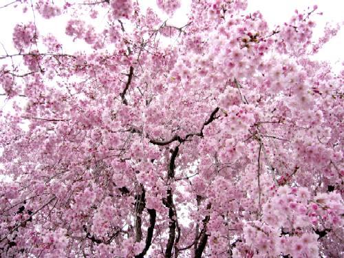明覚寺の桜2006
