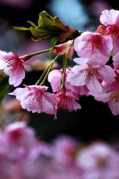 車折神社の桜2007