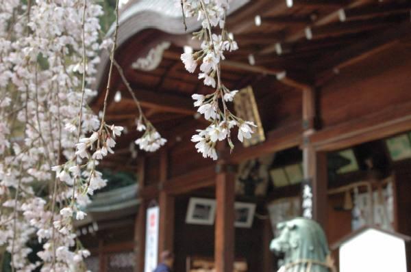 大石神社の桜