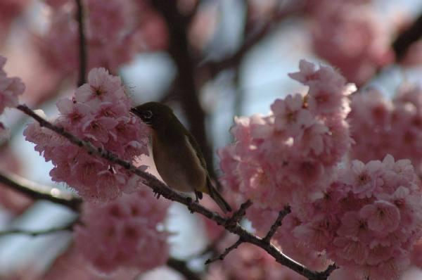 宇多野の椿寒桜1