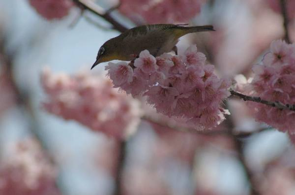 宇多野の椿寒桜2