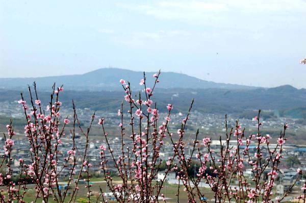 地蔵院の桜と桃