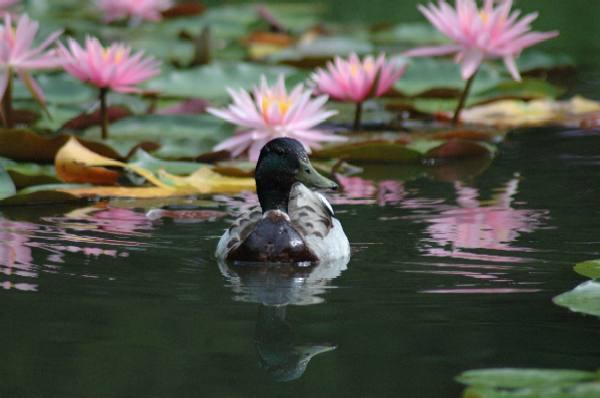 平安神宮の蓮(と鴨)