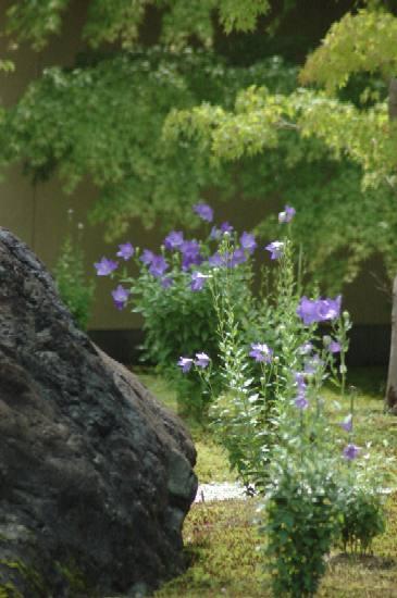 蘆山寺の桔梗