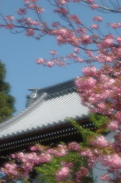 梅宮大社門前の八重桜