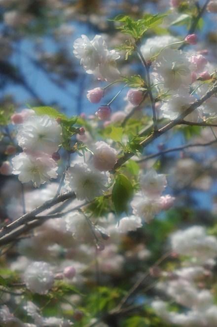 梅宮大社 神苑八重桜