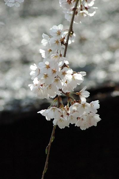 平野神社のさくら2