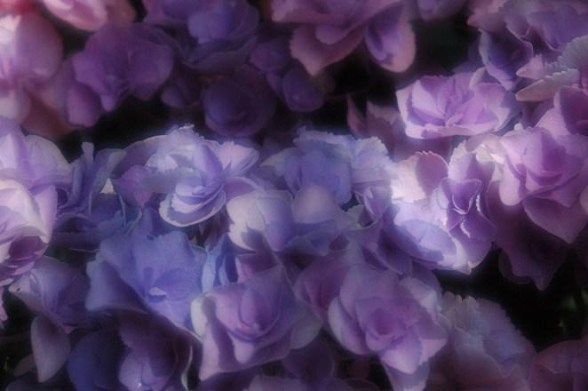 梅宮大社の山紫陽花2