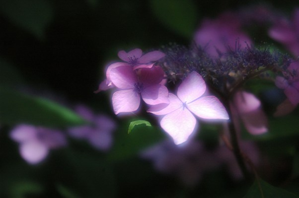 梅宮大社の山紫陽花4