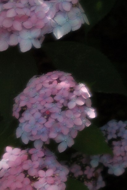 梅宮大社の山紫陽花6