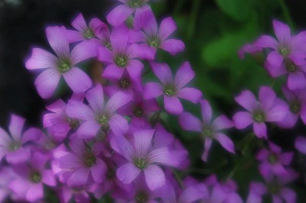 梅宮大社の花々