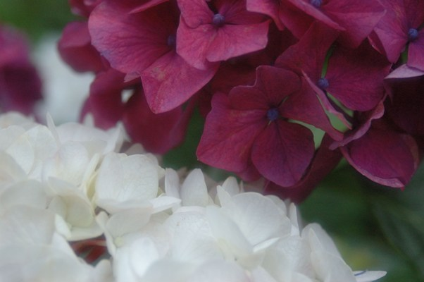 藤の森神社・紫陽花祭 1