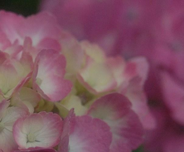 藤の森神社・紫陽花祭3