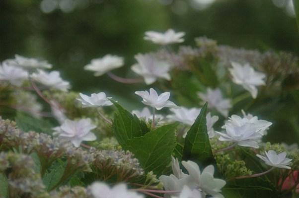 藤の森神社・紫陽花祭4