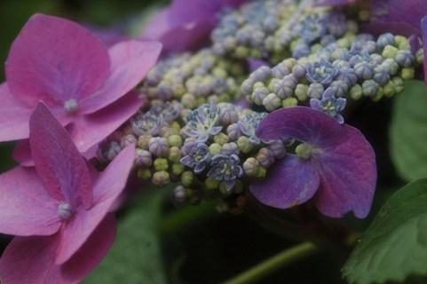 藤の森神社・紫陽花祭5