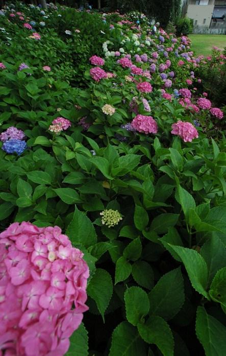 藤の森神社・紫陽花祭6