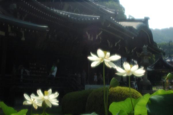 三室戸寺の蓮7