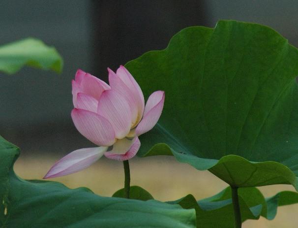相国寺の蓮5