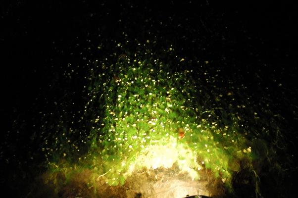 夜の 梅花藻6