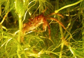 夜の梅花藻7