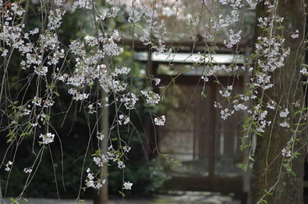 2007常照皇寺の九重桜