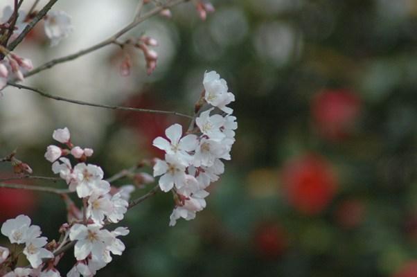 御苑のソメイヨシノ