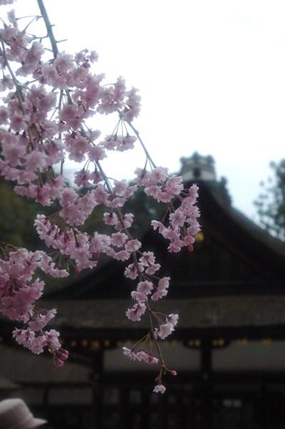 上賀茂神社 みあれ桜