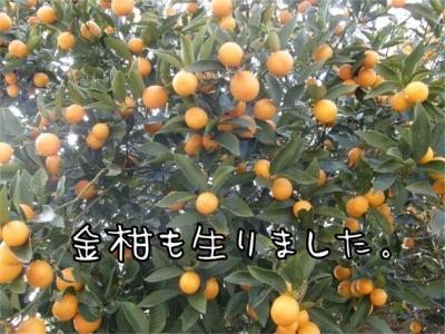08.4.25.4金柑