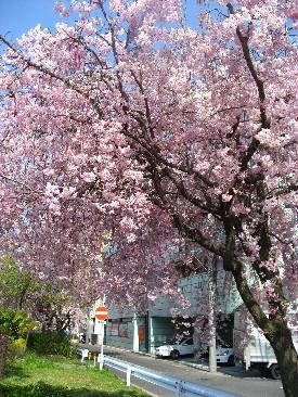 近所のしだれ桜