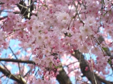 近所のしだれ桜2