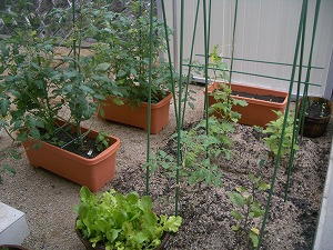 家庭菜園☆6月