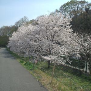 桜祭り 桜