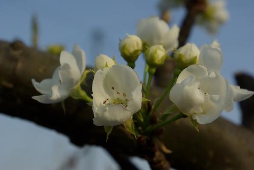 梨の花08
