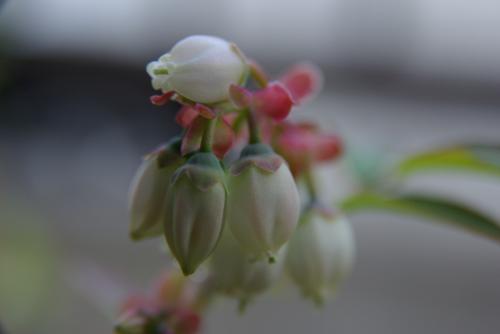 2008 庭 ブルーベリー 花 開花