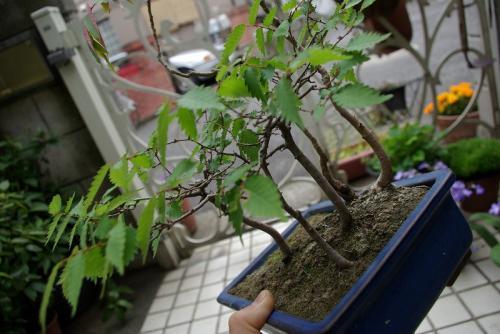 盆栽の剪定