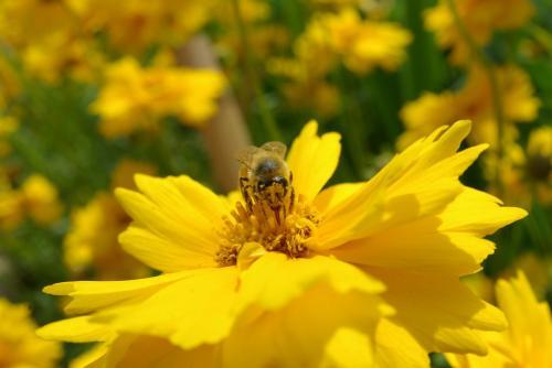 初夏 黄色い花 蜂
