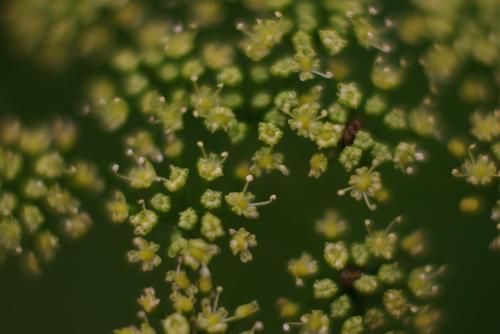 パセリ 花と虫