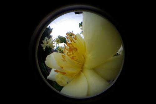 虫の眼 バラ 花