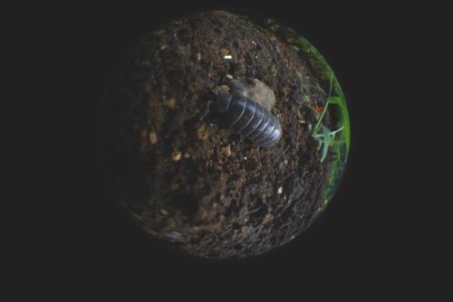 虫の眼 ダンゴ虫