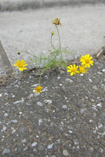 ベリーサ カーポート前の黄色い花