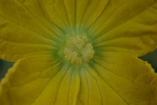 2008 7 27 冬瓜 花