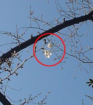 靖国神社の桜20070318