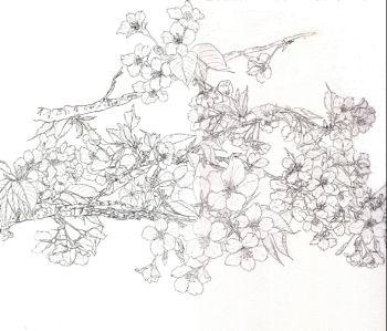 ブログ大島桜