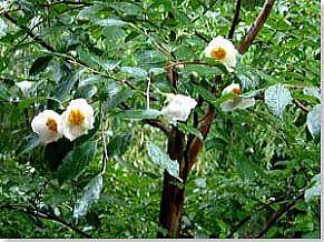 娑羅双樹の花