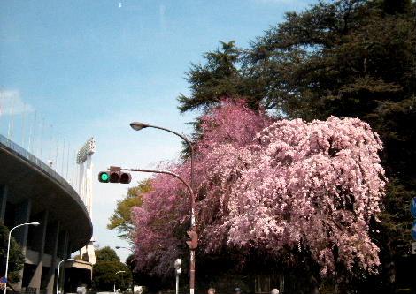 2008_0405sakurasakura0006.jpg