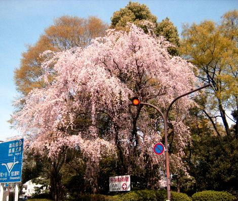 2008_0405sakurasakura0007.jpg