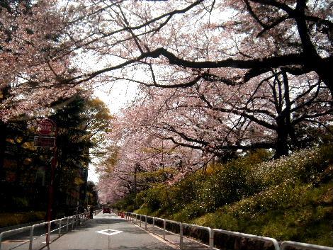 2008_0405sakurasakura0013.jpg