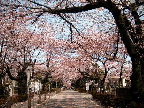 2008_0405sakurasakura0022.jpg