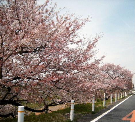 2008_0405sakurasakura0026.jpg