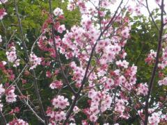 0328sakura4.jpg